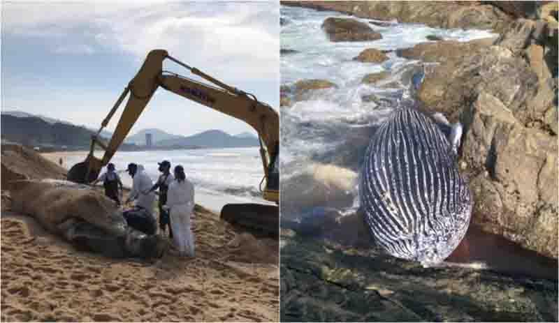 Baleia com marcas de rede de pesca é encontrada morta em Itapema, SC