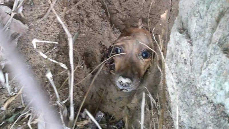Cachorrinha estava há pelo menos três dias chorando, enterrada viva em um terreno – Foto: Protetores Bombinhas/Divulgação