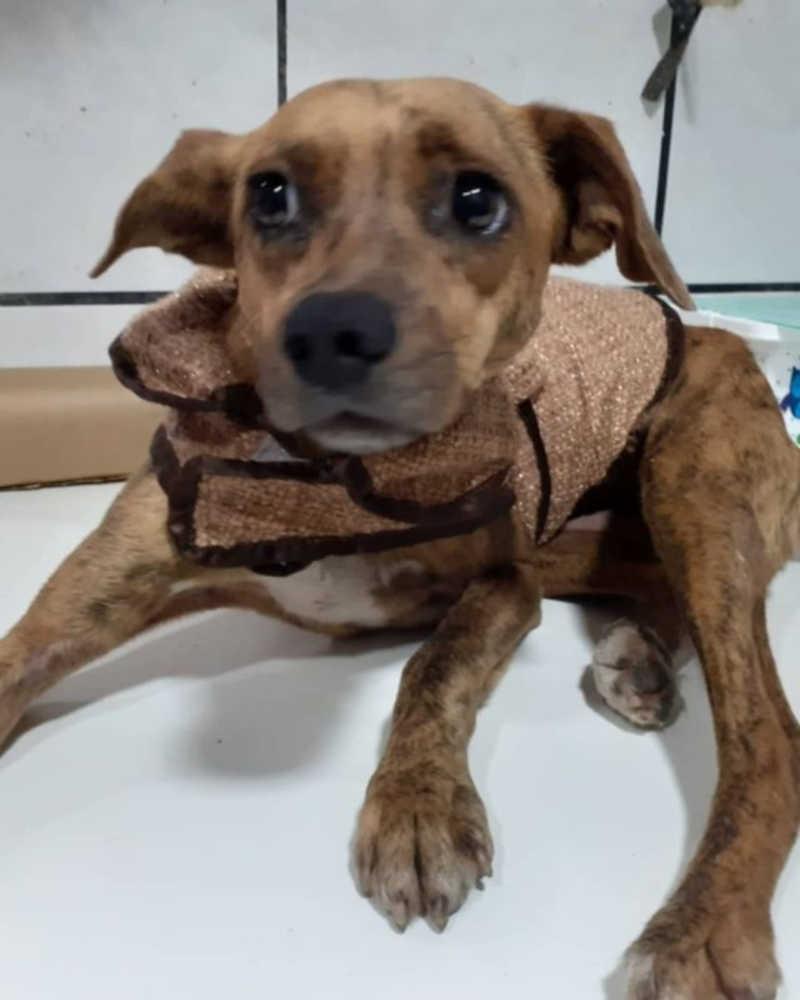 Cachorrinha está internada em uma clínica veterinária para se recuperar – Foto: Protetores Bombinhas/Divulgação