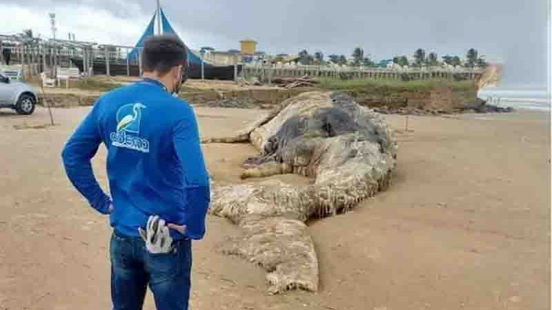 Jubarte encontrada na Praia da Costa em Sergipe. Foto: Asscom/Adema