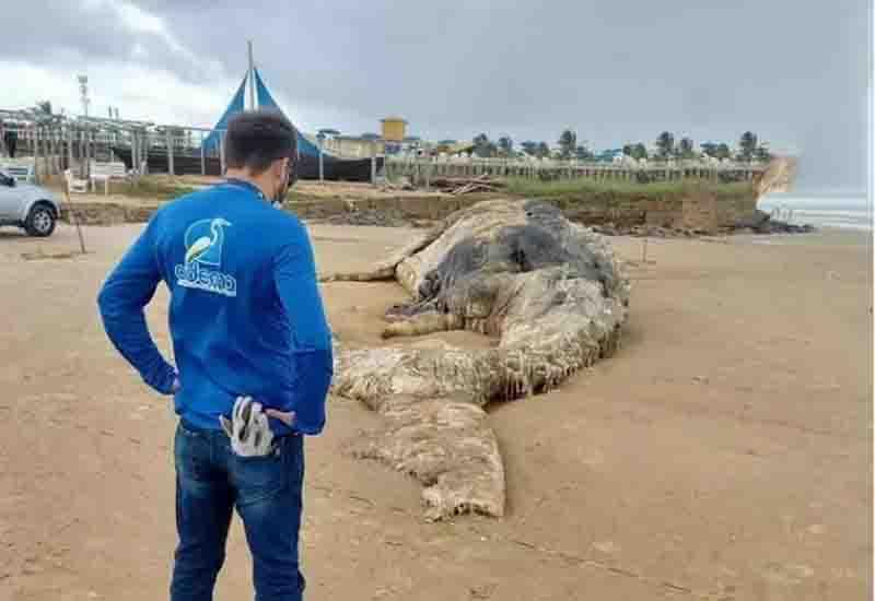 Baleia-jubarte é encontrada morta em praia na Barra dos Coqueiros, em Sergipe