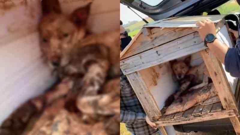 Cachorro é resgatado após ser espancado e esfaqueado em Araçoiaba da Serra, SP