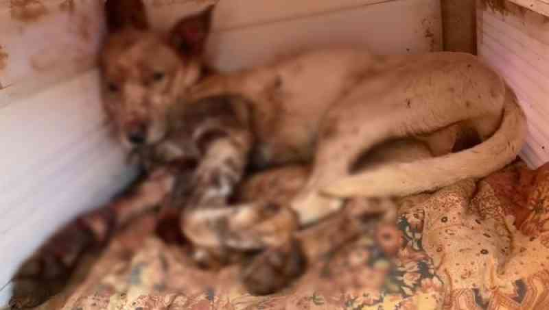 Cachorro é resgatado após ser espancado e esfaqueado em Araçoiaba da Serra. — Foto: Prefeitura de Araçoiaba da Serra/ Divulgação
