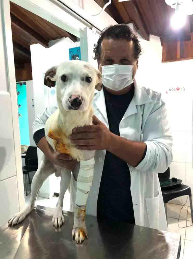 Cão resgatado após ser espancado e esfaqueado passa por cirurgia para amputar pata em SP