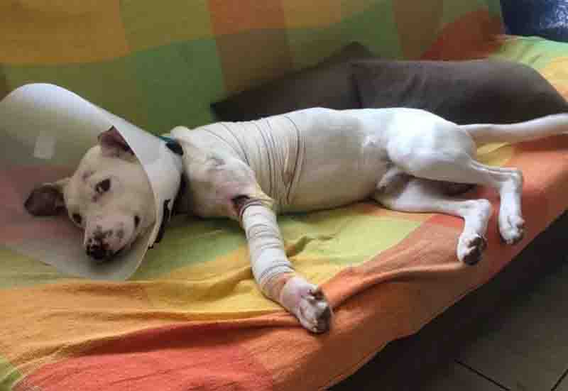 Thor deitado no sofá da clínica depois da cirurgia para amputar uma das patas. Foto: Arquivo pessoal