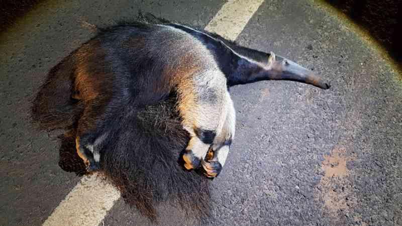 Mais um tamanduá-bandeira morre na atropelado em Botucatu, SP; é o segundo em nove dias