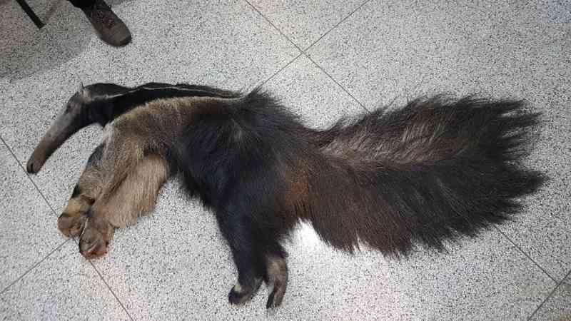 Animal morto neste domingo, 11. Chegou a ser socorrido com vida, mas não resistiu.