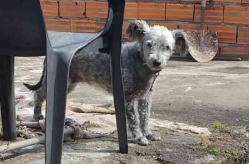 Cão acorrentado está subnutrido, estressado e com musculatura debilitada em Carapicuíba, SP
