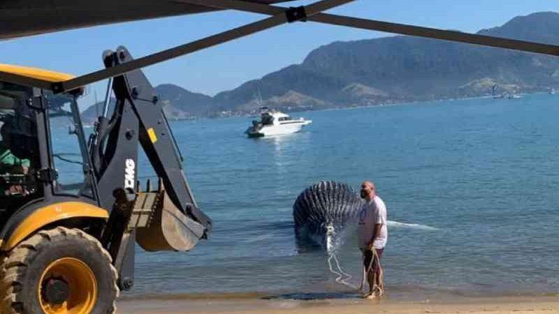 Filhote de baleia-jubarte é encontrado morto em canal de Ilhabela. — Foto: Divulgação/Instituto Argonauta