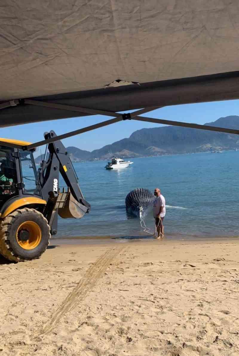 Filhote de baleia-jubarte é encontrado morto em canal de Ilhabela, SP