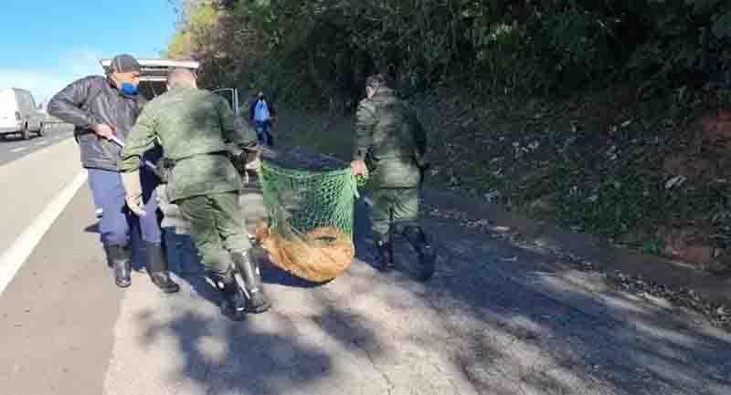 Onça-parda morre após ser atropelada em rodovia de Jundiaí, SP