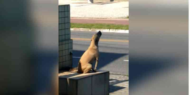 Cachorro é abandonado em madrugada fria e passa a noite uivando de tristeza, em Praia Grande, SP