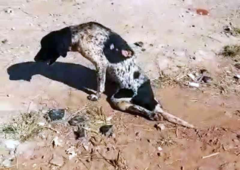 Encontrado rastejando em terreno, cachorro é resgatado em Presidente Prudente, SP; veja VÍDEO