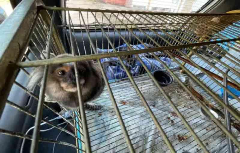 Ribeirão Pires (SP) resgata macaco em cativeiro domiciliar
