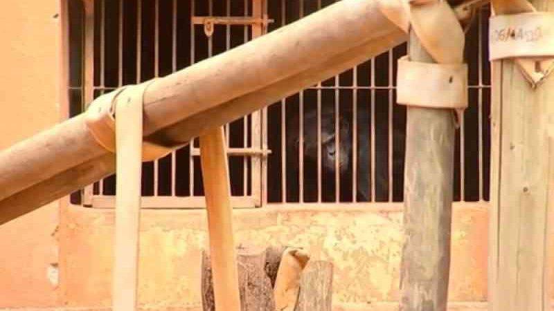 Ação do MP pede que dois chimpanzés sejam levados ao Santuário dos Primatas em Sorocaba. — Foto: Reprodução/ TV TEM