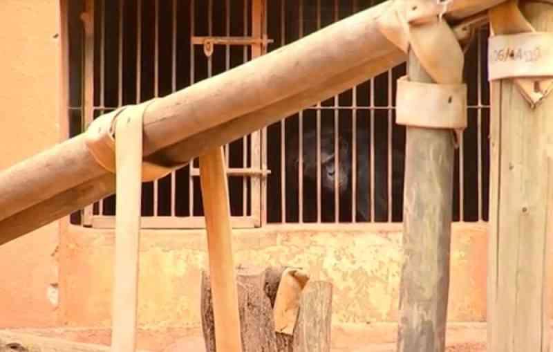 Justiça nega ação que pedia transferência de chimpanzés no zoo de Sorocaba (SP) para santuário; MP vai recorrer