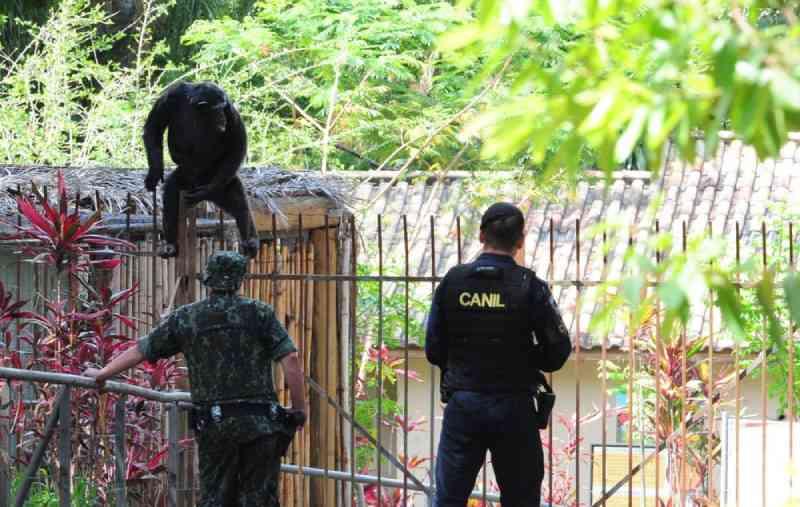 Chimpanzé escapou de recinto e mobilizou equipes no zoológico de Sorocaba em novembro de 2020. — Foto: Fábio Rogério/Cruzeiro do Sul