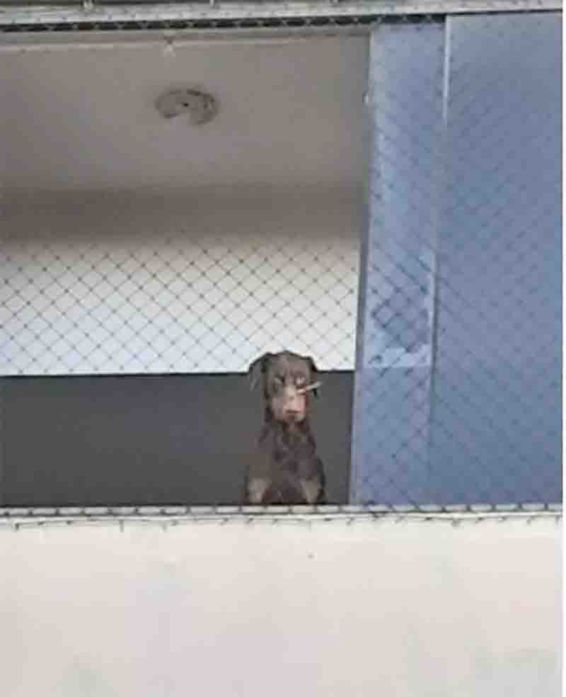 Guarda e polícia de Americana (SP) resgatam cães em situação de maus-tratos com objeto preso ao focinho