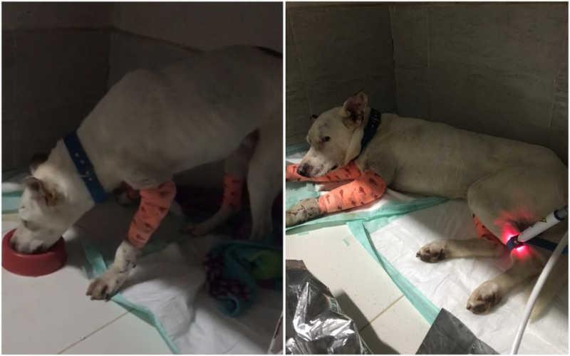 Cão resgatado após ser espancado e esfaqueado passa por sessões de ozonioterapia e laser — Foto: Arquivo Pessoal