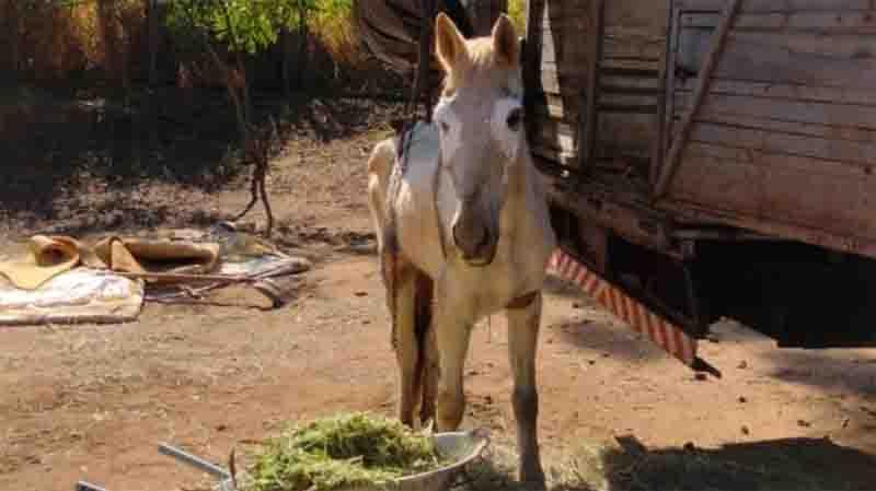Homem é multado por maltratar égua em Araraquara, SP