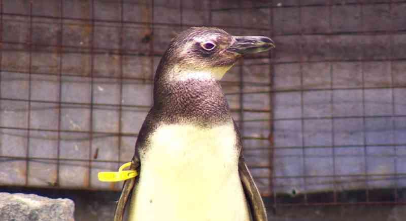 Projeto resgata animais marinhos feridos no litoral paulista. — Foto: Aurélio Sal/TG
