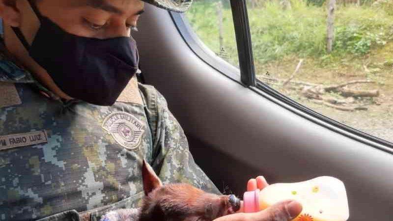 Filhote de veado foi resgatado em Pedro de Toledo. — Foto: Divulgação/Polícia Militar Ambiental