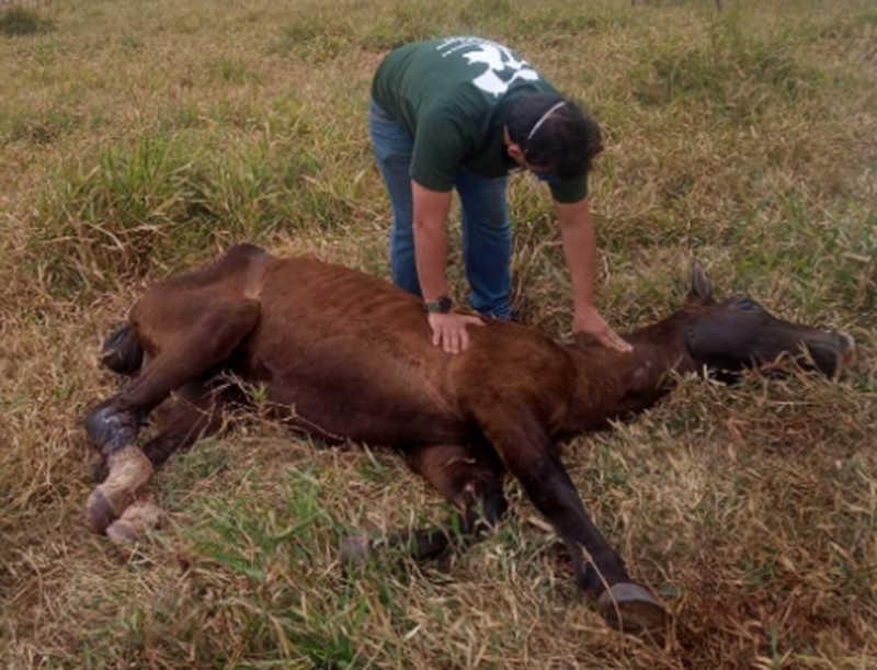 Polícia investiga maus-tratos a cavalo encontrado abandonado em Piraju, SP