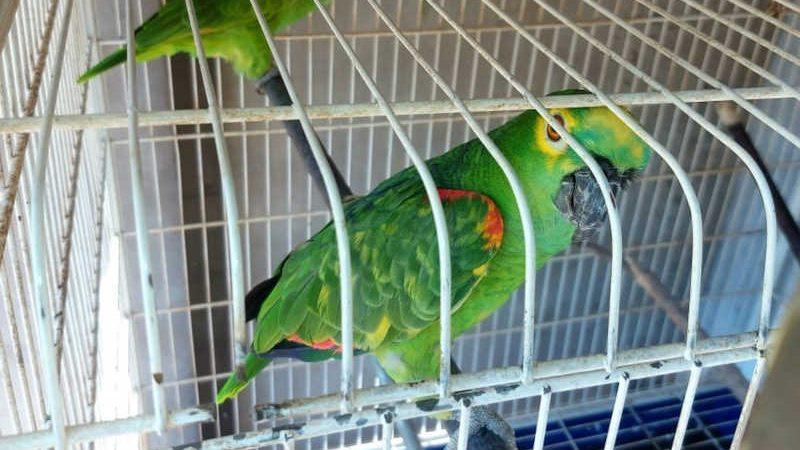 Homem é autuado em R$ 1 mil por manter em cativeiro duas aves da fauna silvestre em Rancharia, SP