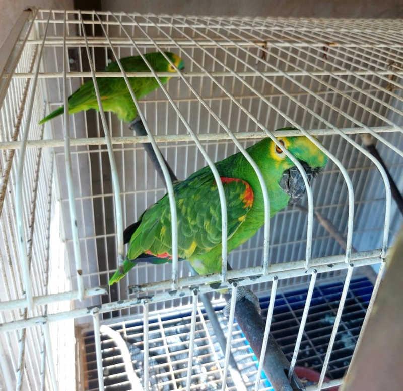 Homem é autuado em R$ 1 mil por manter em cativeiro dois papagaios-verdadeiros em Rancharia, SP