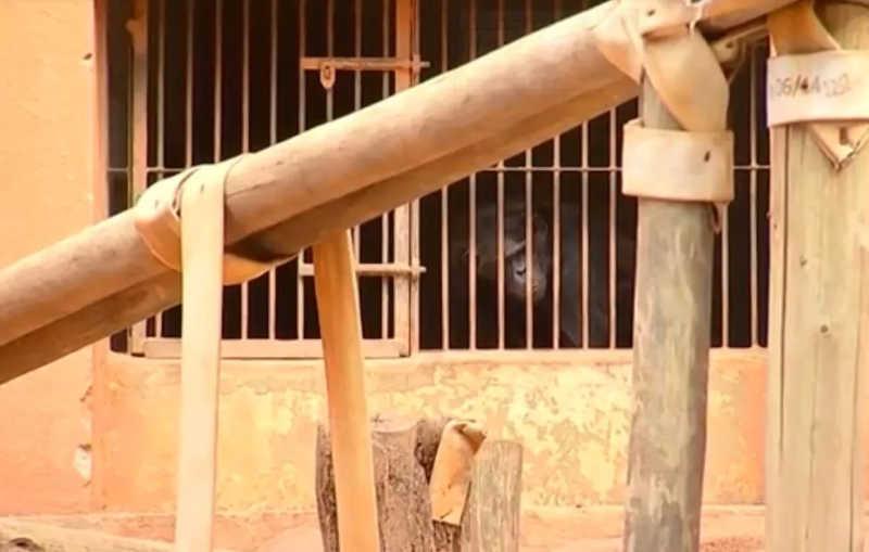 Ação do MP pede que dois chimpanzés sejam levados ao Santuário dos Primatas em Sorocaba, SP