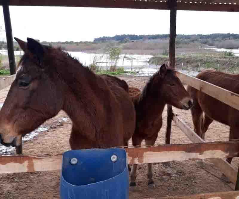 Hospedaria já está recebendo os cavalos recolhidos em Sapiranga, RS