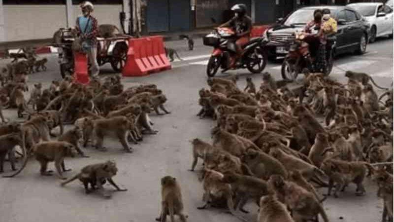 Centenas de macacos pararam o trânsito na Tailândia