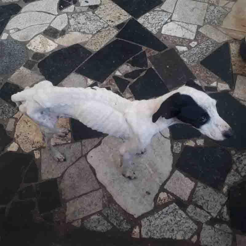 Cão em situação de maus-tratos no Jardim Humberto Salvador foi resgatado e levado a uma clínica veterinária. Foto: Polícia Ambiental