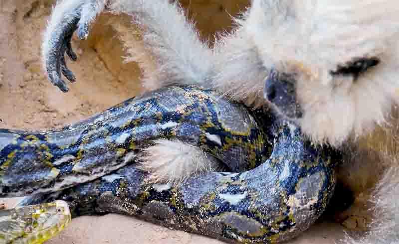 """Em uma das centenas de resgates falsos de animais publicados no YouTube, uma cobra píton-birmanesa se enrola ao redor do corpo de um gibão até que uma pessoa """"flagra"""" a dupla e salva o primata. Foto de Video Screenshot from Youtube"""