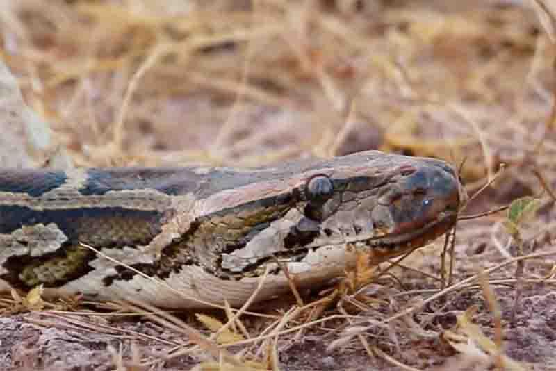 Às vezes, os mesmos animais são utilizados em vários vídeos. Na imagem é mostrada uma mesma cobra que parece ser a predadora em dois diferentes vídeos de resgate no YouTube. Foto de Youtube (Reprodução)