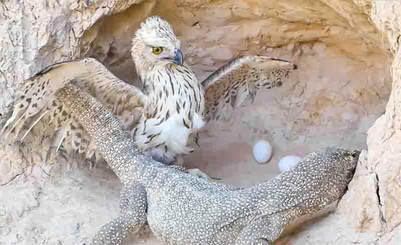 Águias são alguns dos animais apresentados nos vídeos de resgates encenados, muitas vezes como os predadores. Os vídeos demonizam carnívoros que, na natureza, matam presas para sobreviver. Foto de Video Screenshot from Youtube