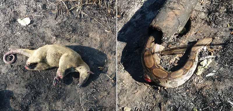 Animais sofrem com queimadas no estado — Foto: Arquivo/Corpo de Bombeiros Acre