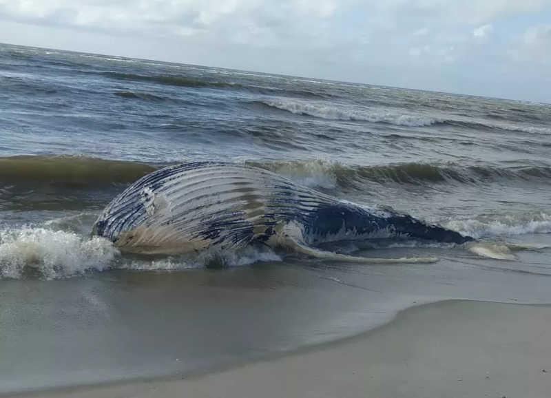 Baleia-jubarte é encontrada morta em praia de Marechal Deodoro, AL