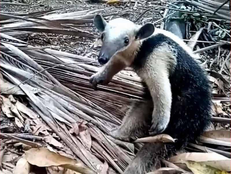 Após captura, tamanduá-mirim foi devolvido à natureza — Foto: CBM/Divulgação
