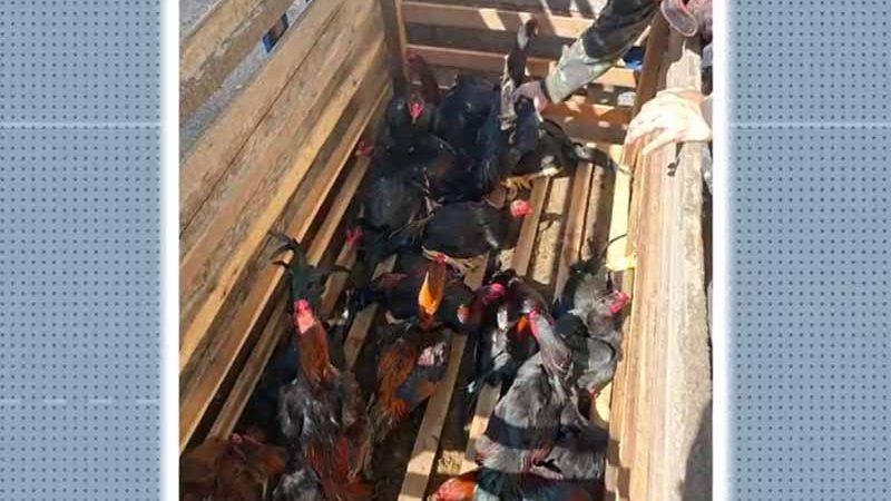 Foram encontradas 124 aves em situação de maus-tratos, no sul da Bahia — Foto: Reprodução/TV Santa Cruz