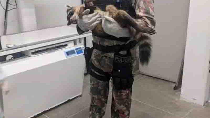 Guaxinim resgatado por PMs passou por cirurgia no Hospital Veterinário da Universidade Estadual do Ceará, em Fortaleza. Foto: Polícia Militar/ Divulgação
