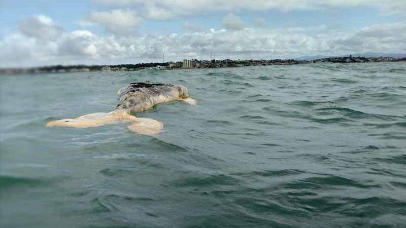 Baleia encontrada morta em Marataízes foi vista inicialmente boiando no mar Foto: Divulgação/Instituto Orca