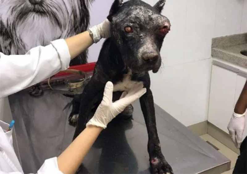 GO: resgatado sem olho, pit bull tem desidratação e anemia severas