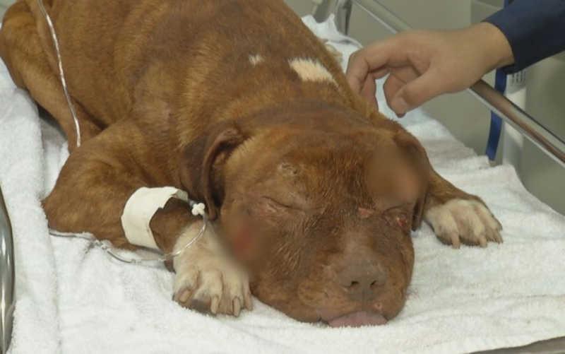 Dois cães são resgatados esfaqueados em Anápolis, GO