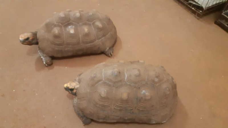 Dois jabutis são apreendidos em comércio do bairro Parque São Geraldo, em Uberaba, MG