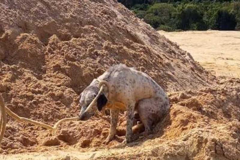 Mais um cão é resgatado após ter testículos arrancados em Vespasiano, MG