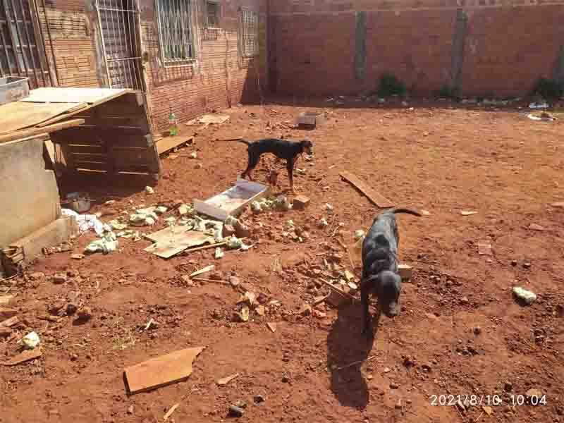 Cães passam quatro meses amarrados em quintal e jovem vai presa por maus-tratos em Campo Grande, MS