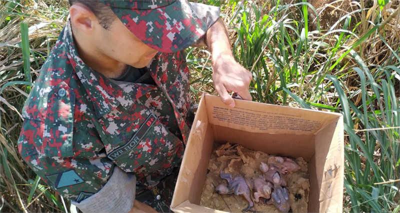 Polícia Ambiental inicia operação contra tráfico de papagaios em MS