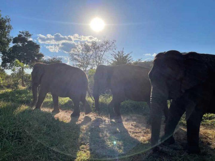 Foto de Rana, Mara e Bambi. Crédito: Santuário de Elefantes Brasil