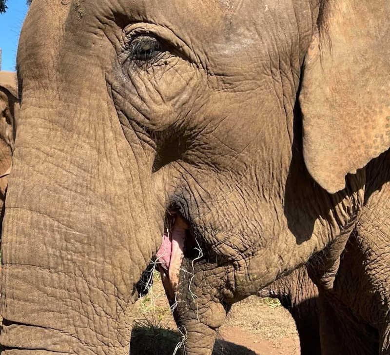 Foto de Bambi. Crédito: Santuário de Elefantes Brasil